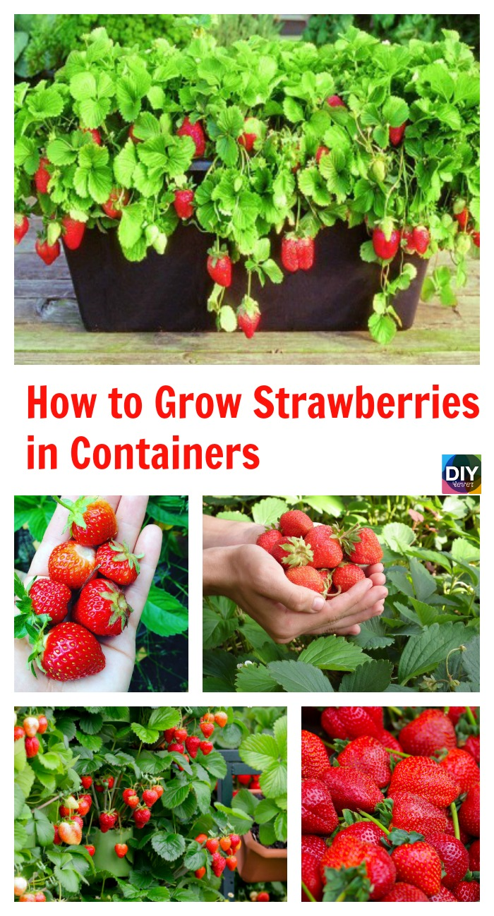 diy4ever- How to Grow Strawberries in Containers